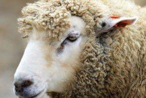 Польза-от-овец-и-коз (1)