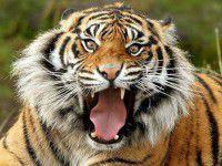 Редких тигров и медведей бывшего министра  поселят под Запорожьем
