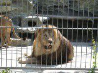 Запорожцы смогут наблюдать за жизнью львов онлайн