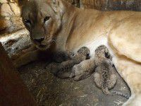 Под Запорожьем львица Катя родила пятерых детенышей (Фото)