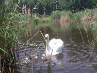 Птенцов погибшего лебедя Глаши пытаются выжить из парка