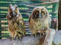 Работники заповедника спасают птенца совы от депрессии (ФОТО)