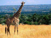 В Бердянск завезут жирафов