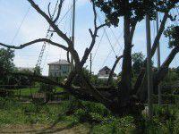 Запорожский дуб потерял крупную ветку, но пустил росток