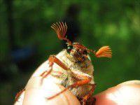 На Хортице  забавный жук попозировал на камеру (Фото)