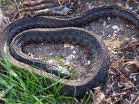 Запорожцам на заметку: каких змей на Хортице нужно бояться