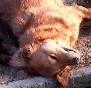 Мертвая собака