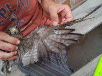 Утренние фото: на Хортице от мазута отмывали птенца