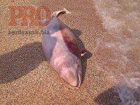 В курортном городе к берегу прибило мертвого дельфина