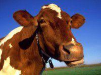 Пожарный, спасая коров, упал с  восьмиметровой высоты