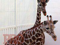Фотофакт: В курортном городе поселились молодые жирафы
