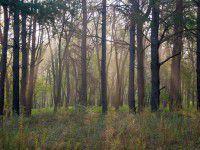 Утреннее фото: Рассеянный туман в лесу на Хортице