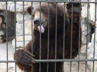 Утреннее фото: Медведь в Васильевском зоопарке показывает посетителям язык