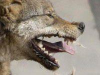 В Бердянске бешеный пес укусил сотрудницу приюта