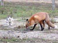 Запорожанка тренирует лису на Хортице (Видео)