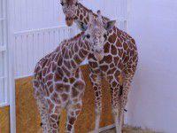 Фотофакт: В бердянском зоопарке жирафам построили вольер с отоплением