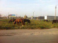 По Запорожью разгуливал табун лошадей (Фото)