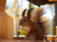 Утреннее фото: запорожские белки вместо орехов предпочитают яблоки