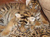 В васильевском зоопарке появились двое амурских тигрят (Фото)