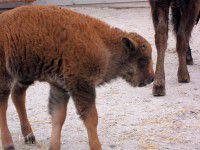 В зоопарке  Бердянска родились бизоны (Фотофакт)