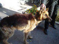 Спасти Мухтара: запорожцы выходили истощенную от голода собаку