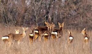 Пятнистые олени на Хортице — подборка самых интересных фото