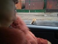 Фотофакт: В центре заметили бешеную лису
