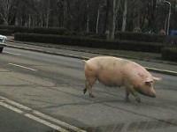 В Запорожской области свинья на ходу  выпала из прицепа