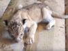 В бердянском зоопарке показали двухнедельного львенка (Видео)