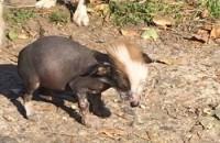 В Запорожской области нашлись хозяева для щенка, похожего на Чупакабру (Видео)