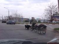 Запорожец ездит по городу на собаках (Фотофакт)