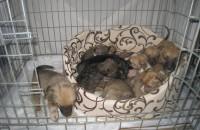 Запорожец выращивал щенков, чтобы съесть
