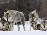 В Южном микрорайоне запорожцы видели стаю волков
