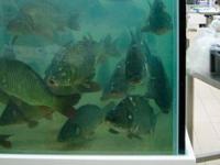 Житель Запорожской области в супермаркете залез в аквариум с рыбами (Видео)