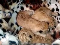 В бердянском зоопарке пополнилась львиная семья (Видео)