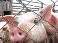 Появилось видео, как в Запорожской области фермер сжигал свиней