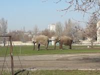В Запорожской области по стадиону гуляют слоны (Фото)