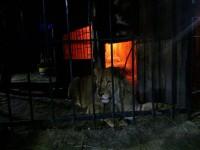 В Запорожье лев накинулся на человека (фото)