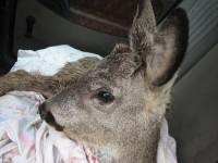 Запорожская зоозащитница рассказала, в чем нуждается раненая косуля