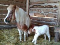 Как плюшевый: в бердянском зоопарке родился пони