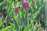 В запорожском парке украли и уничтожили сотни тюльпанов