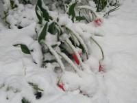 Аномальный апрель: цветущие деревья в Запорожье засыпало снегом (Фото)