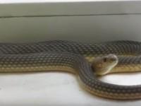 Запорожанка застала на своем подоконнике огромную змею (Видео)