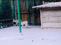 В бердянском зоопарке показали белых волчат на прогулке (Видео)