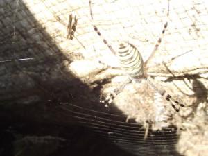 В Запорожье из-за жары активизировались ядовитые пауки