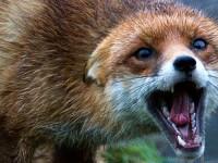 В Запорожье бешеная лиса бросалась на владельцев частного дома, покусав собак