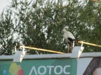 Запорожец встретил по дороге на работу необычную птицу на рекламном борде (Фото)