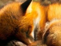 Запорожская зооволонтер раскритиковала патрульных за жестокое убийство лисенка