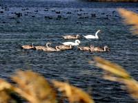 Под Запорожьем пара лебедей спасла из пожара птенцов