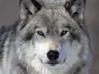 В Запорожской области волки начали охотиться в частных дворах